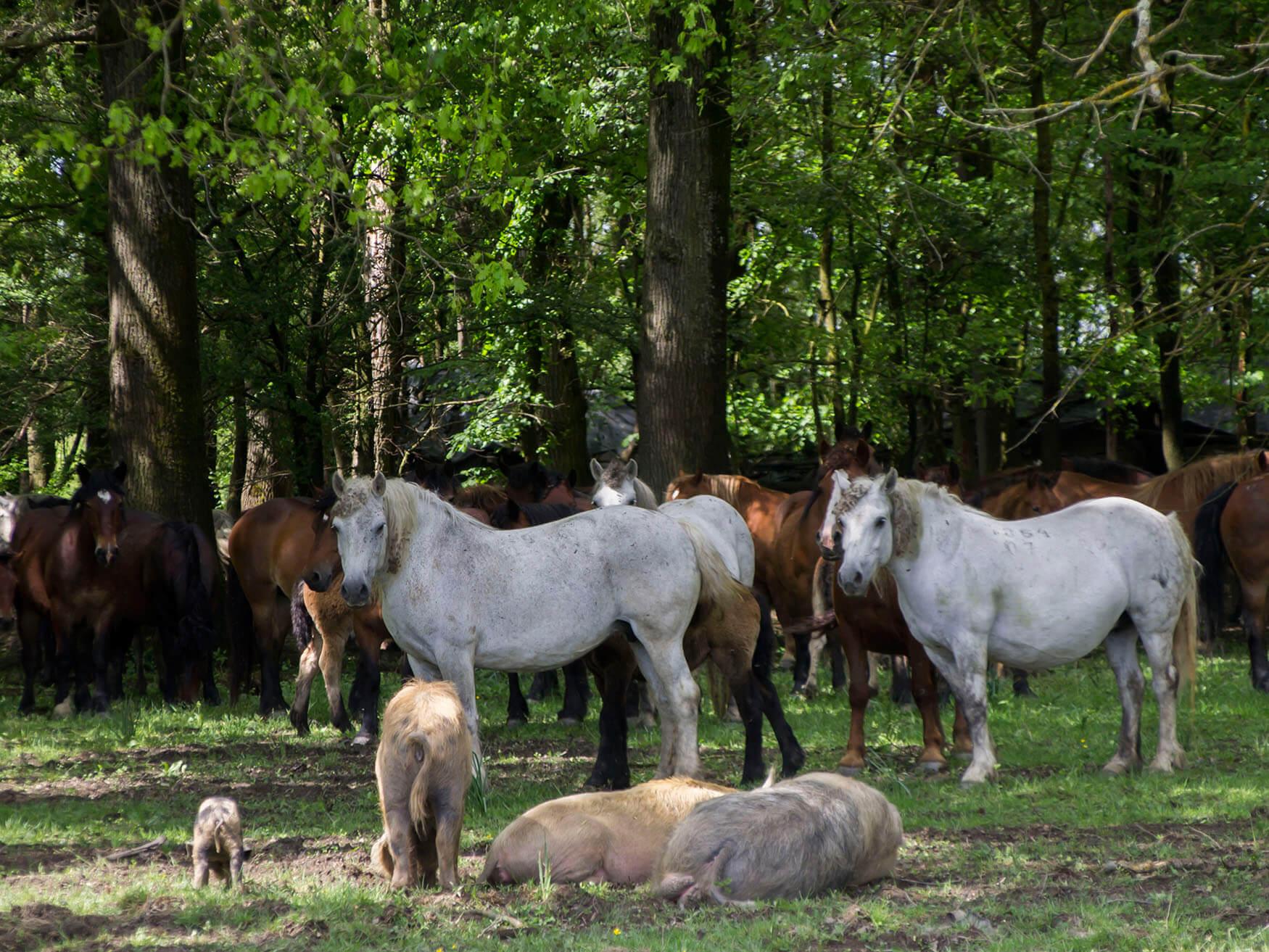 Željko_Orlić_Mužilovčica_Horses