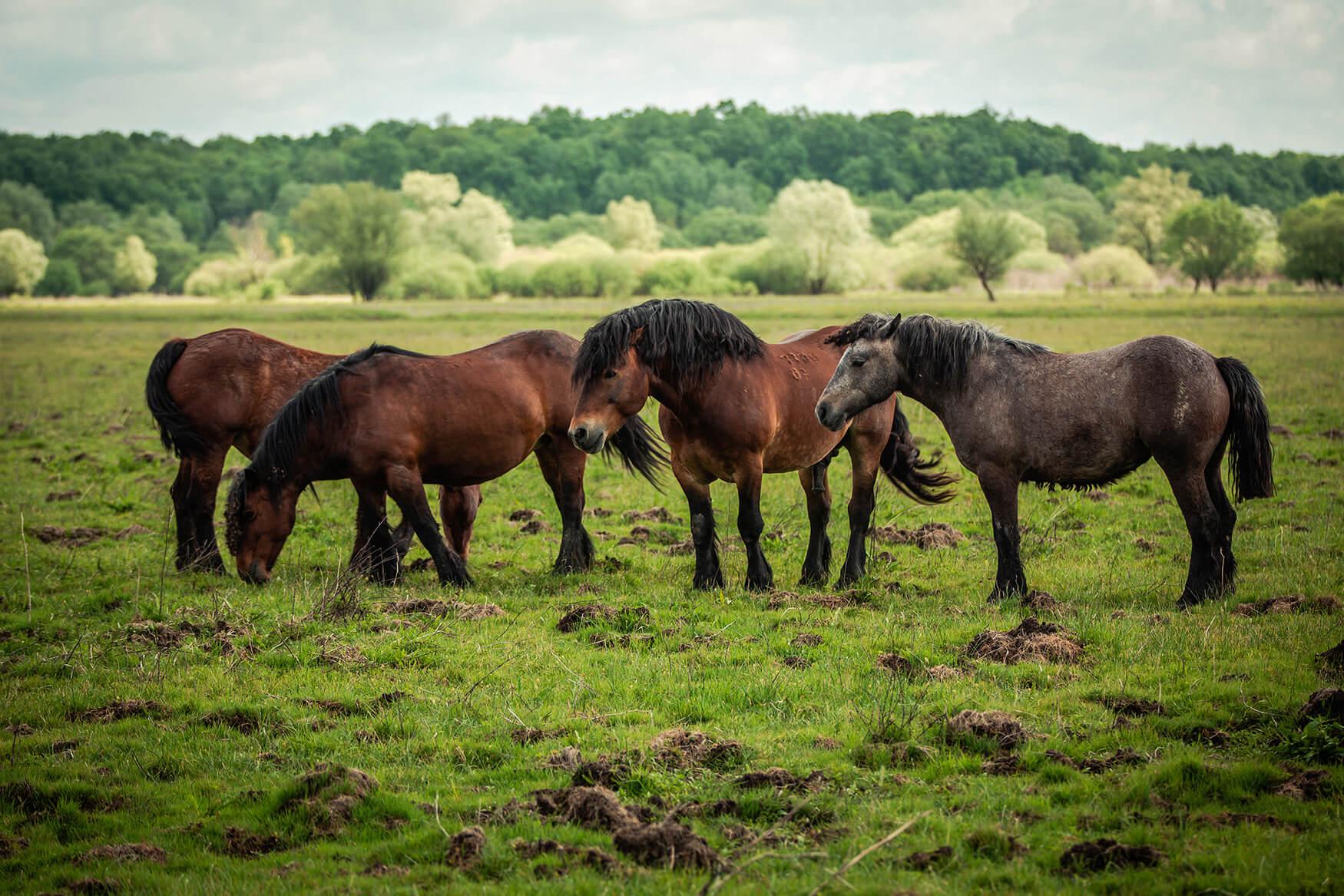 Damir_Pahić_Mužilovčica_Horses