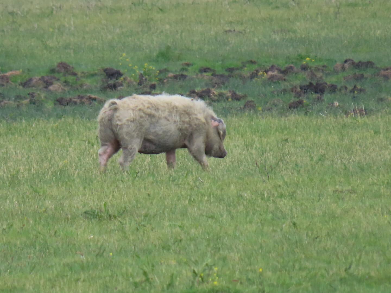 Jasna-Anušić_Mužilovčica-pig