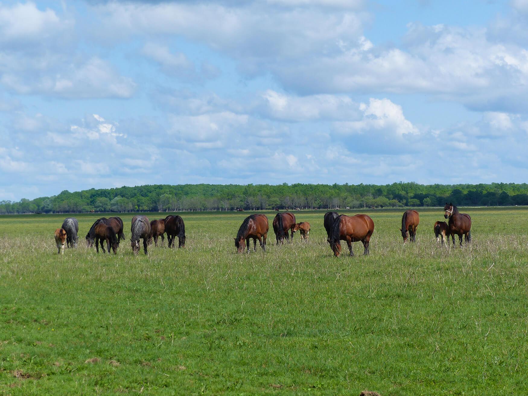 Marija_Vulić_Dragaš_Mužilovčica_horses