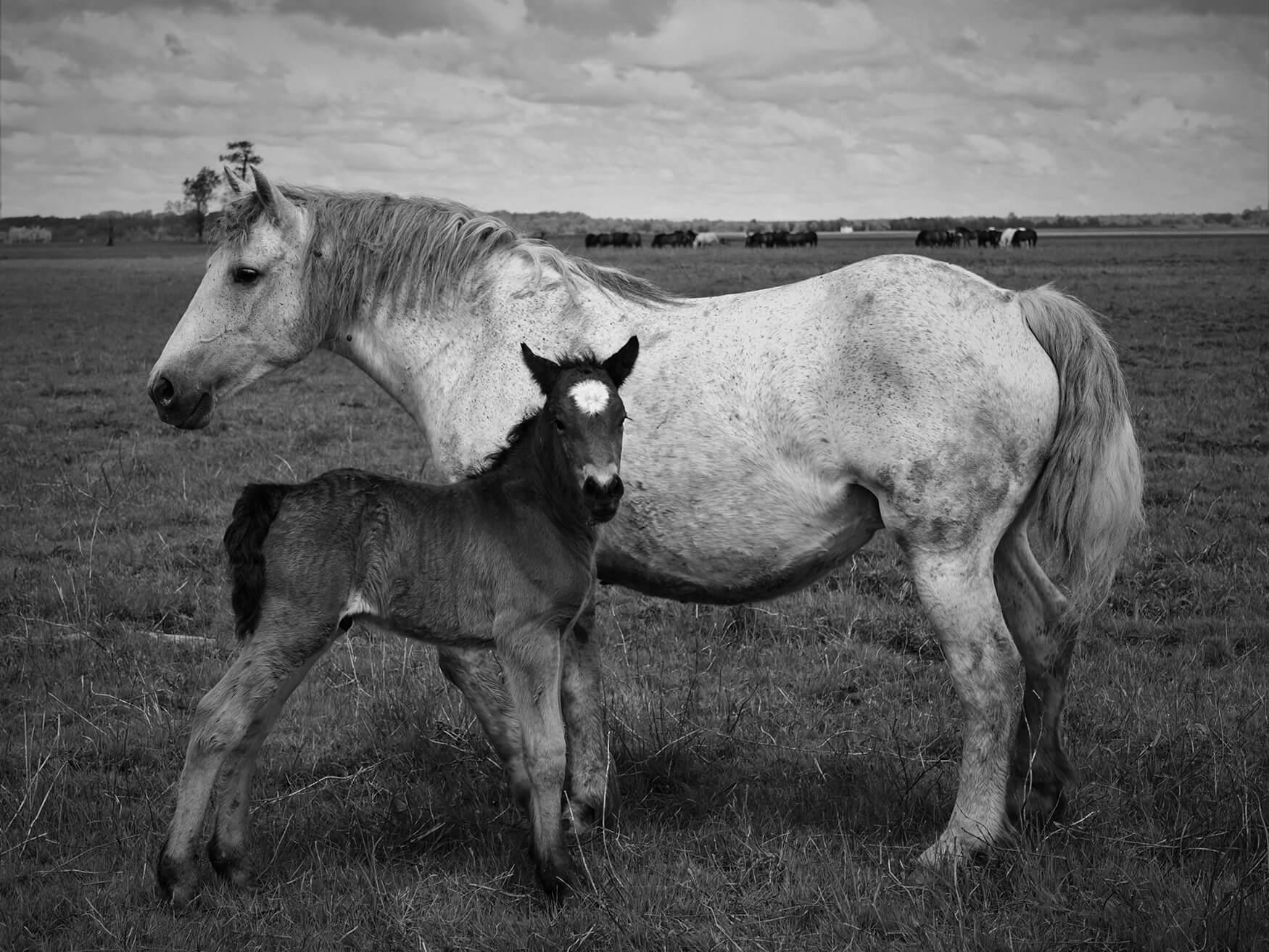 Sadika_Bajutti_Mužilovčica_horse