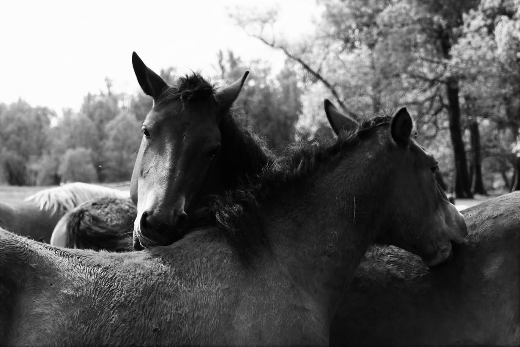 Sadika_Bajutti_Mužilovčica_horses